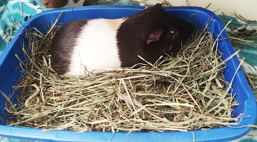 Types of Hay for Guinea Pigs